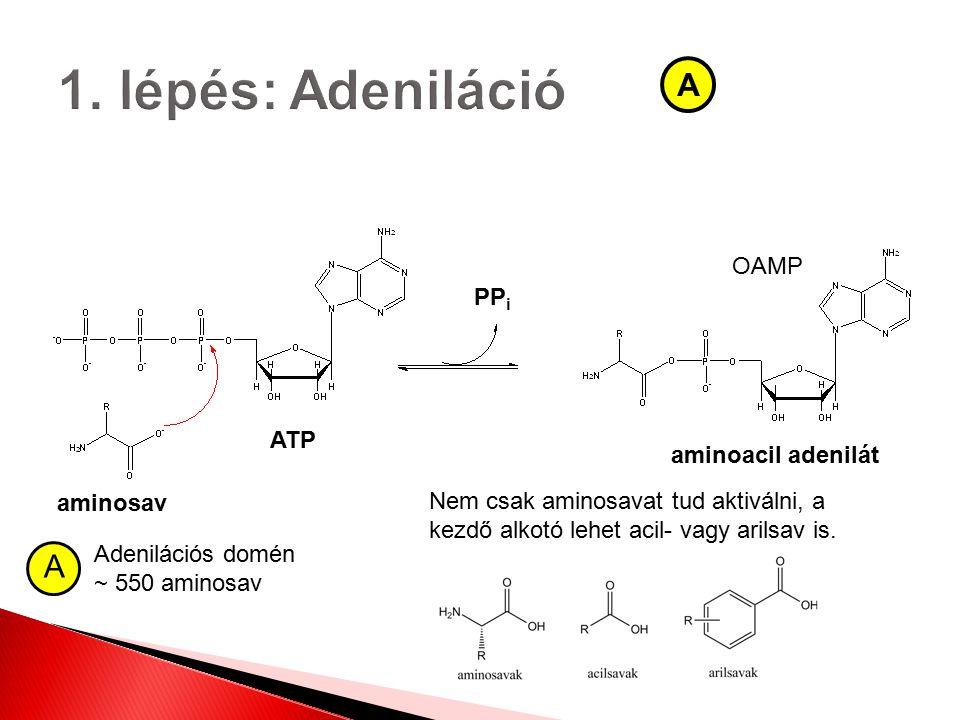 1. lépés: Adeniláció A A OAMP PPi ATP aminoacil adenilát aminosav