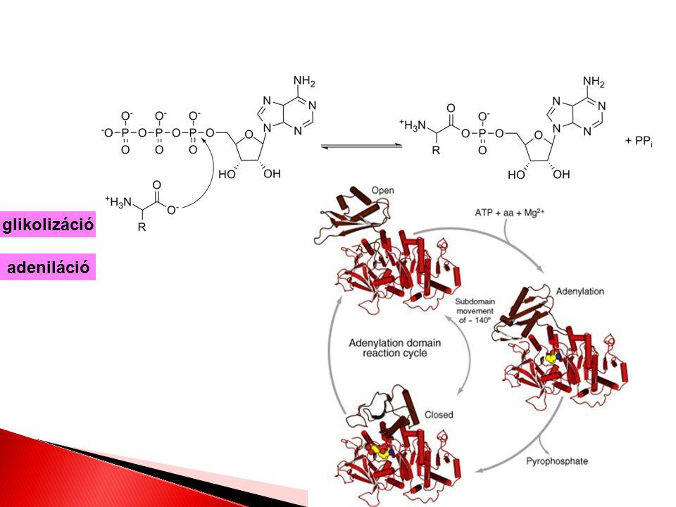 glikolizáció adeniláció