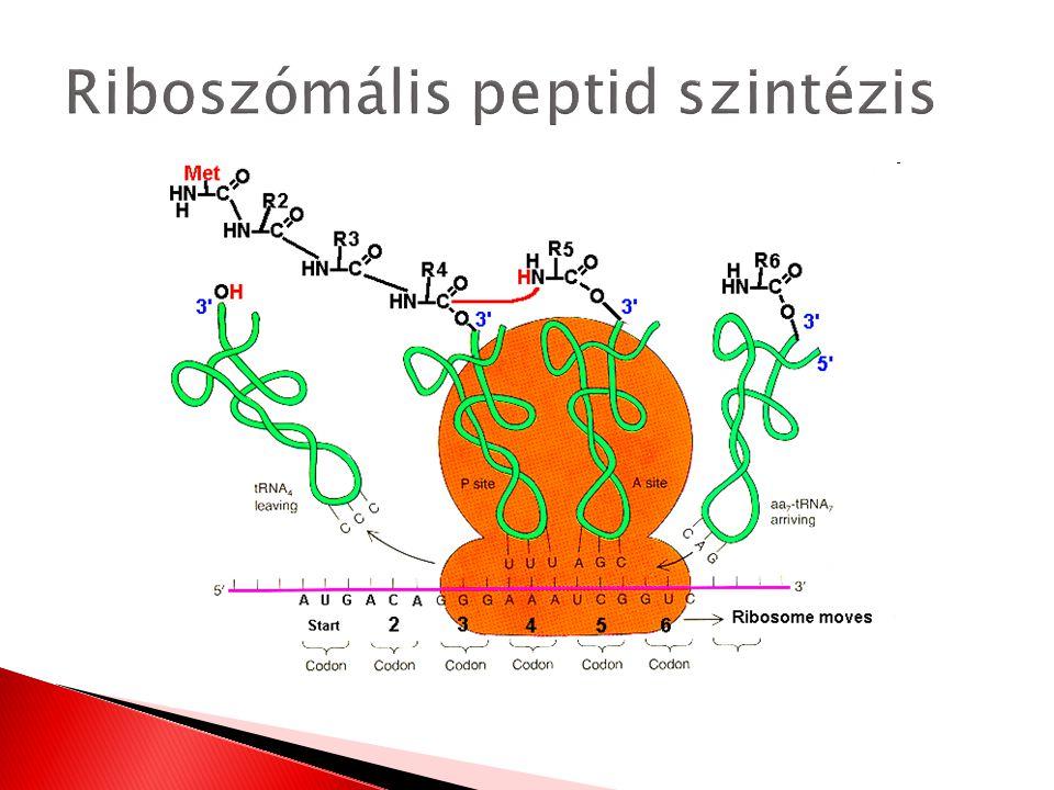 Riboszómális peptid szintézis