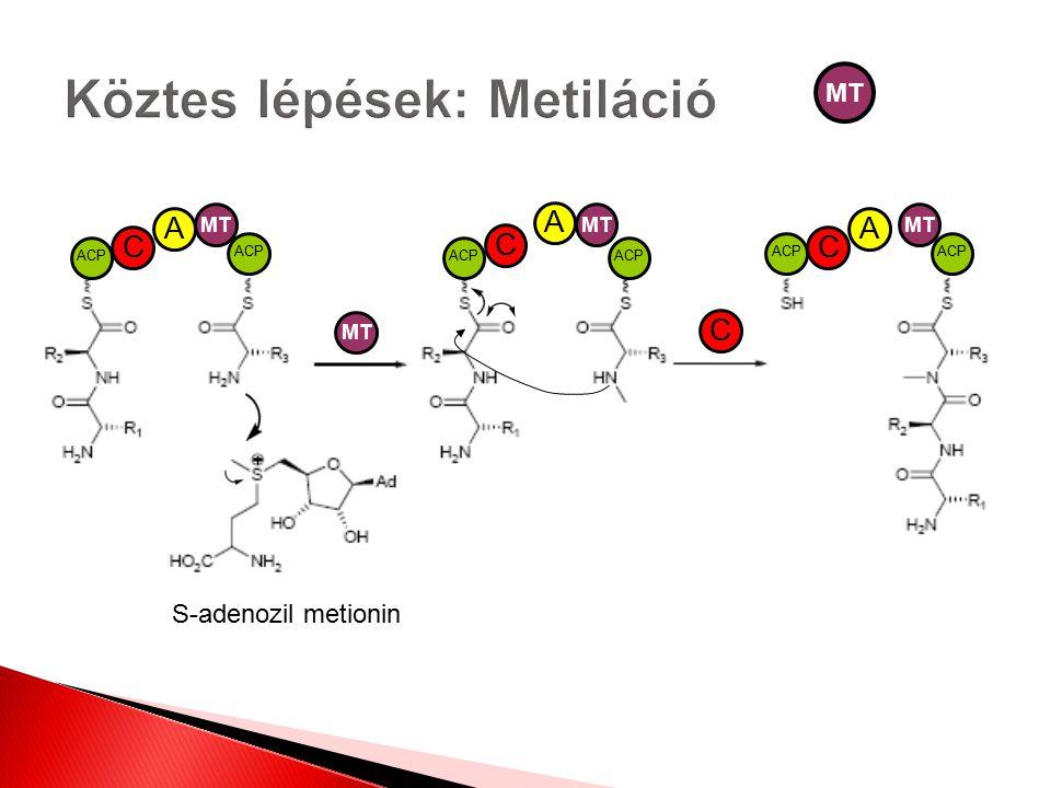 Köztes lépések: Metiláció