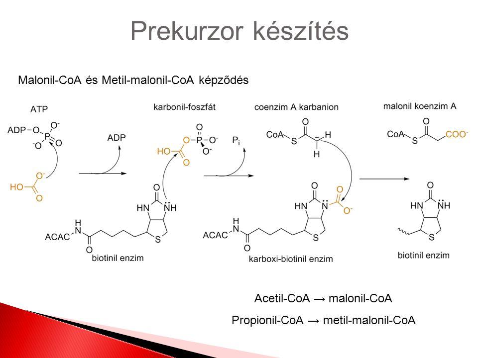 Prekurzor készítés Malonil-CoA és Metil-malonil-CoA képződés