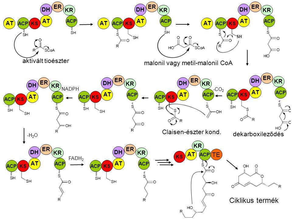 Ciklikus termék aktivált tioészter malonil vagy metil-malonil CoA