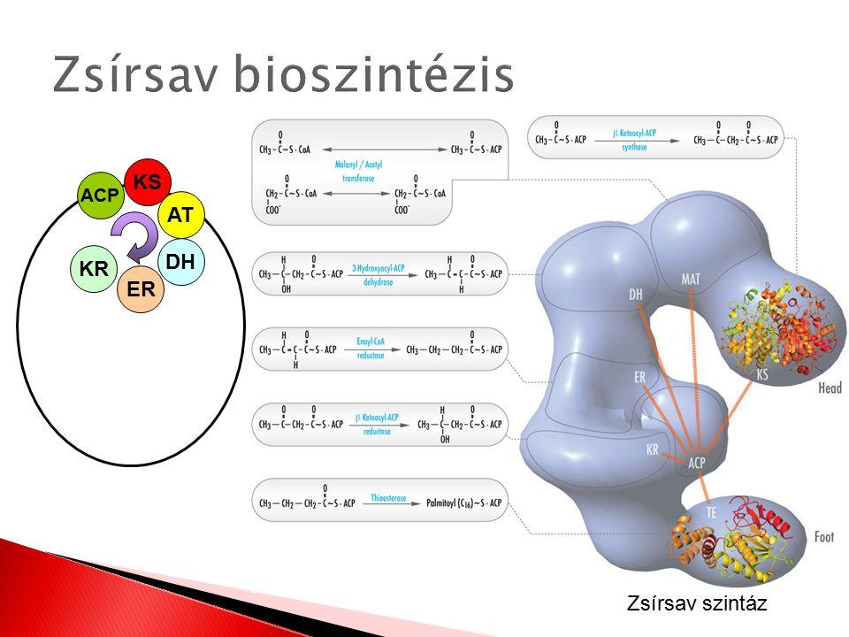 Zsírsav bioszintézis KS AT ACP KR DH ER Zsírsav szintáz