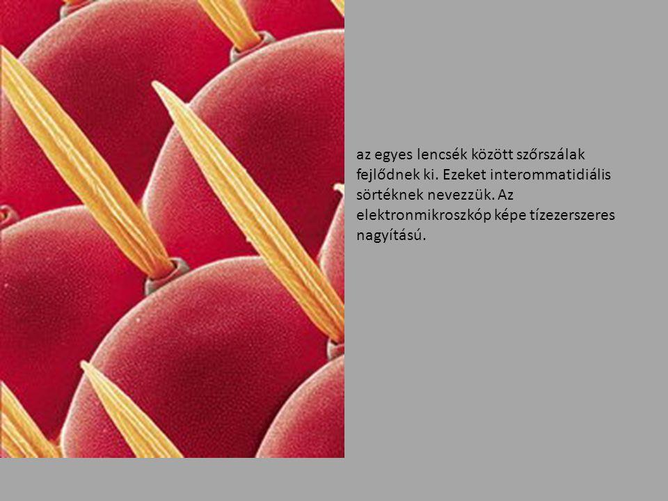 az egyes lencsék között szőrszálak fejlődnek ki