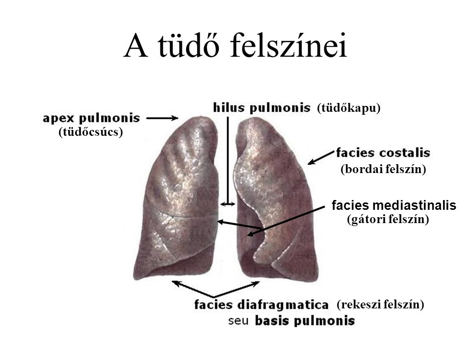 A tüdő felszínei (tüdőkapu) (tüdőcsúcs) (bordai felszín)