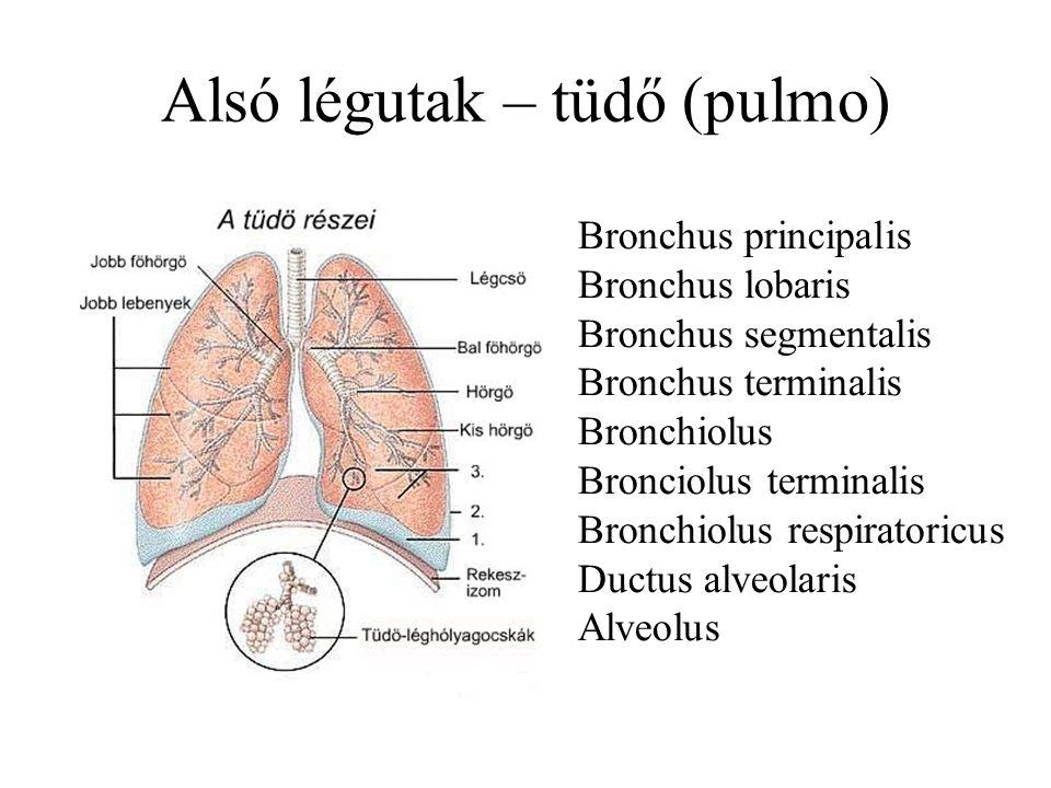 Alsó légutak – tüdő (pulmo)