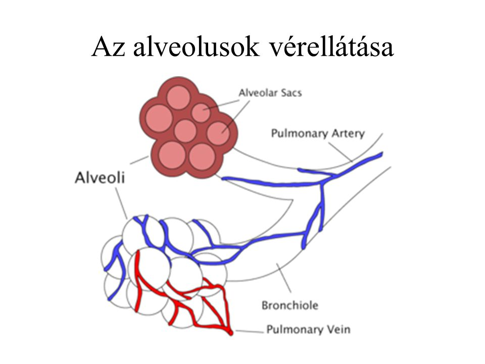 Az alveolusok vérellátása
