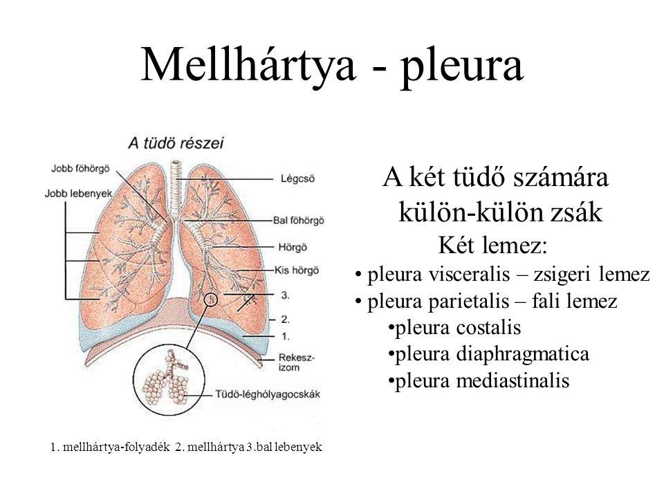 Mellhártya - pleura A két tüdő számára külön-külön zsák Két lemez: