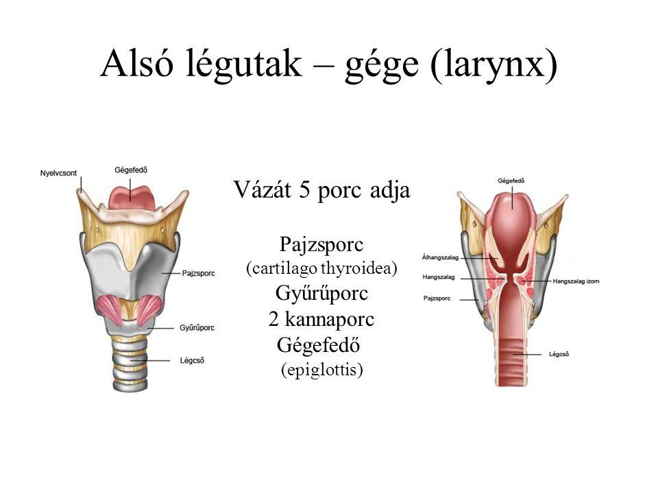 Alsó légutak – gége (larynx)