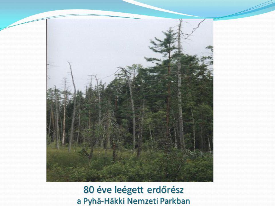 80 éve leégett erdőrész a Pyhä-Häkki Nemzeti Parkban