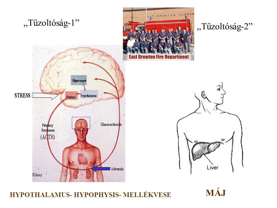 """""""Tűzoltóság-1 """"Tűzoltóság-2 HYPOTHALAMUS- HYPOPHYSIS- MELLÉKVESE MÁJ"""