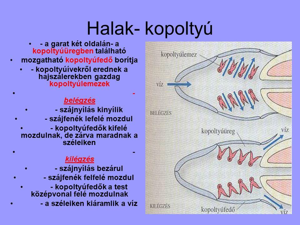 Halak- kopoltyú - a garat két oldalán- a kopoltyúüregben található