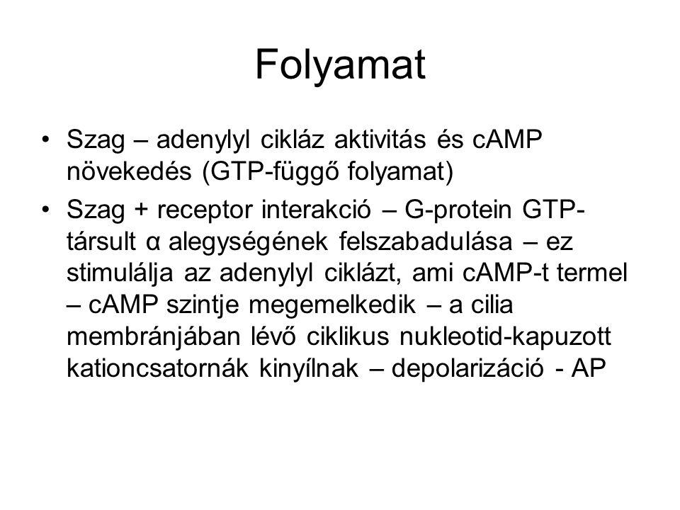 Folyamat Szag – adenylyl cikláz aktivitás és cAMP növekedés (GTP-függő folyamat)