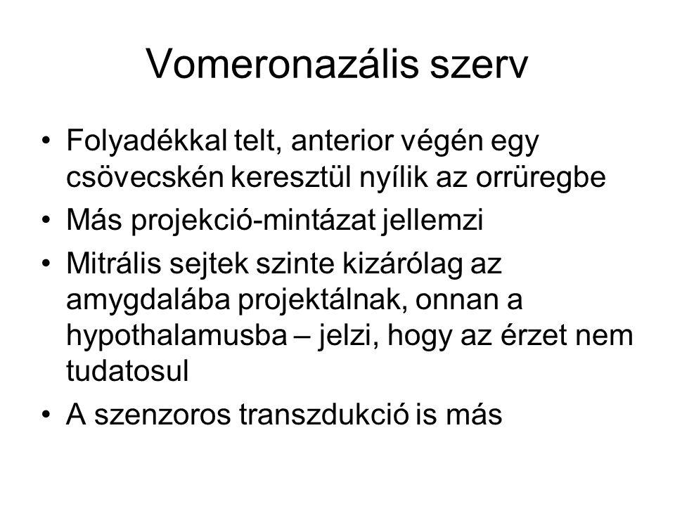 Vomeronazális szerv Folyadékkal telt, anterior végén egy csövecskén keresztül nyílik az orrüregbe. Más projekció-mintázat jellemzi.