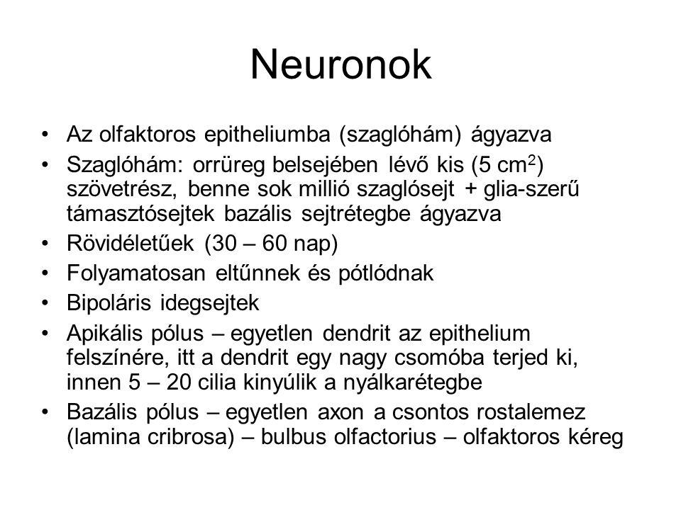 Neuronok Az olfaktoros epitheliumba (szaglóhám) ágyazva