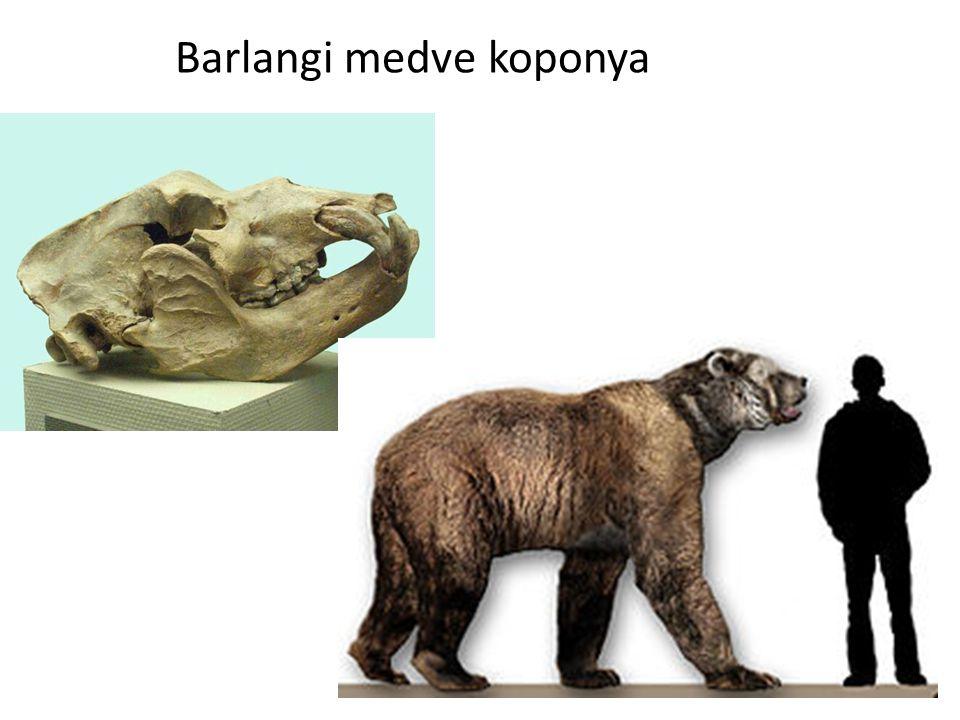 Barlangi medve koponya