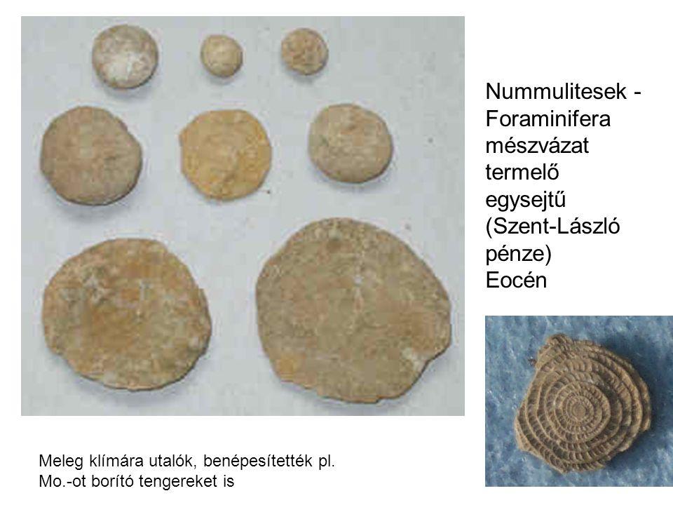 Nummulitesek - Foraminifera mészvázat termelő egysejtű (Szent-László pénze) Eocén