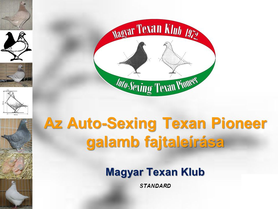 Az Auto-Sexing Texan Pioneer galamb fajtaleírása