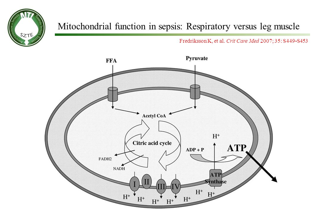Mitochondrial function in sepsis: Respiratory versus leg muscle