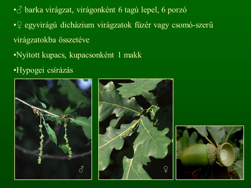 ♂ barka virágzat, virágonként 6 tagú lepel, 6 porzó