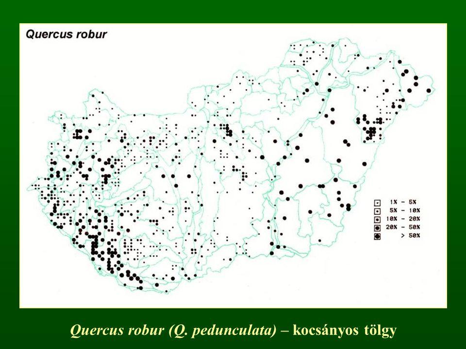 Quercus robur (Q. pedunculata) – kocsányos tölgy