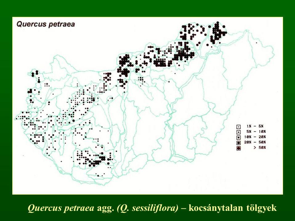Quercus petraea agg. (Q. sessiliflora) – kocsánytalan tölgyek