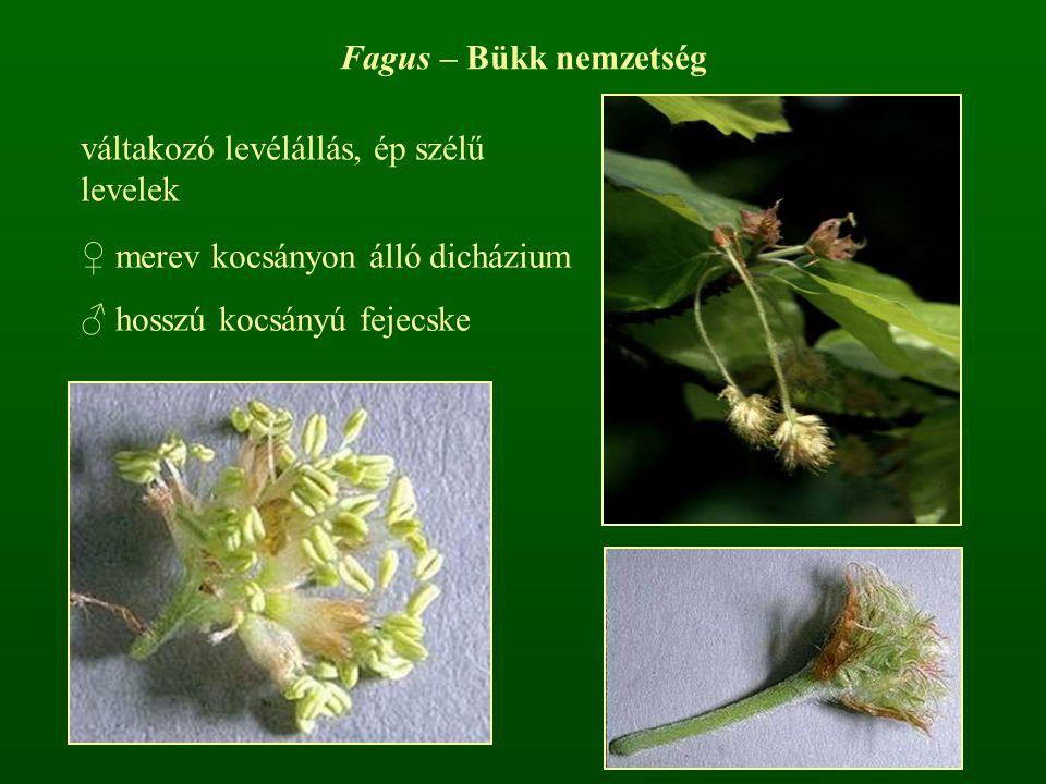 Fagus – Bükk nemzetség váltakozó levélállás, ép szélű levelek.