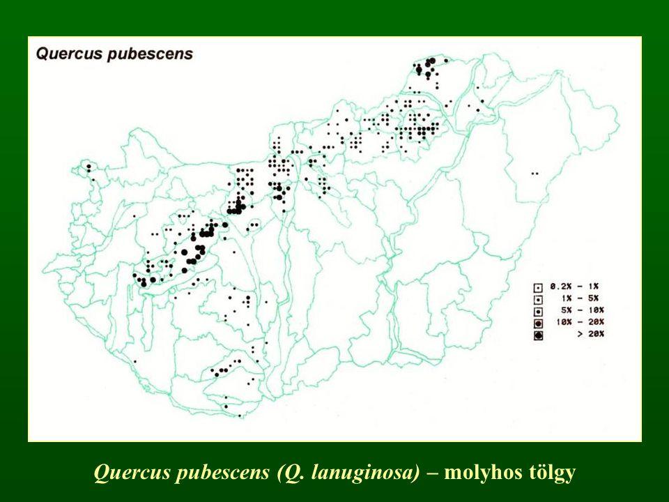 Quercus pubescens (Q. lanuginosa) – molyhos tölgy