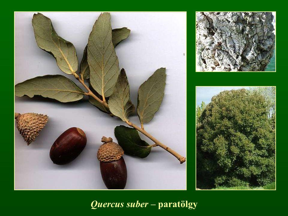 Quercus suber – paratölgy