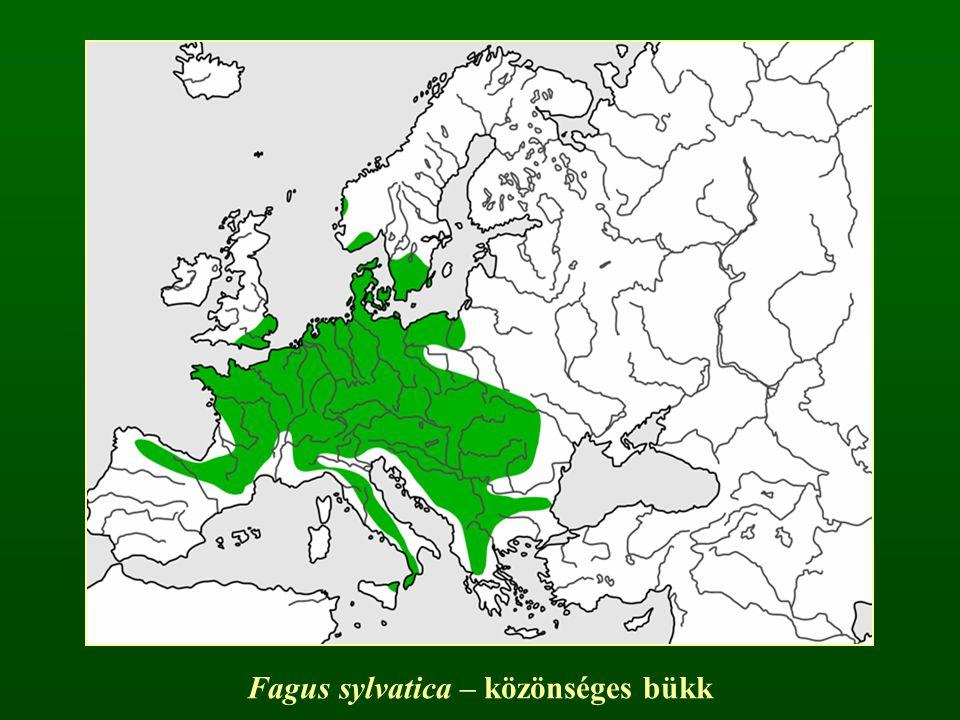 Fagus sylvatica – közönséges bükk