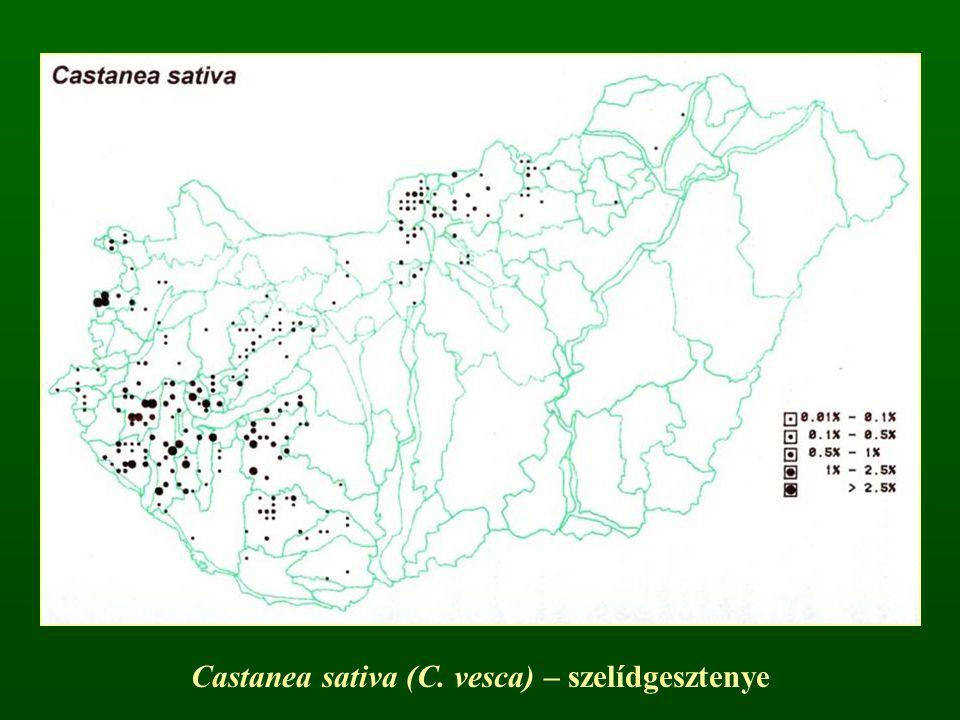 Castanea sativa (C. vesca) – szelídgesztenye