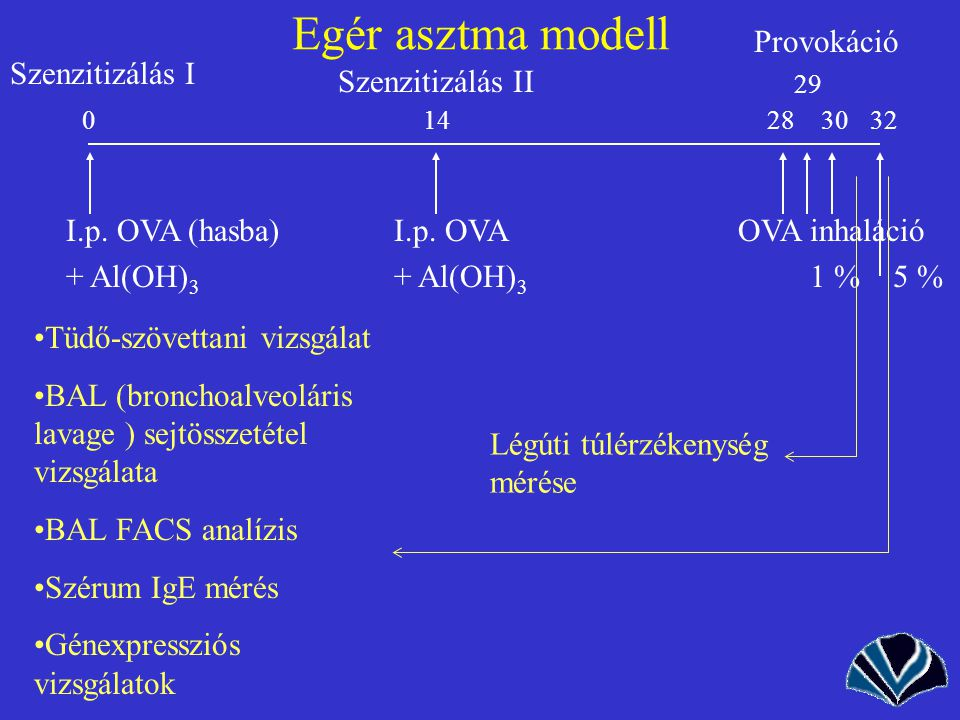Egér asztma modell Provokáció Szenzitizálás I Szenzitizálás II