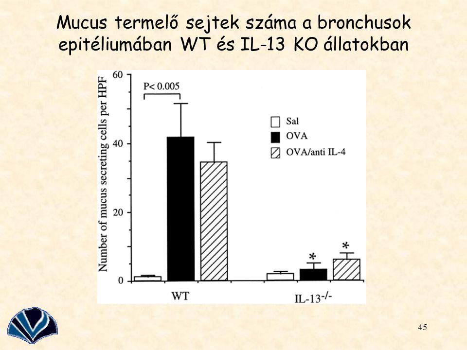 Mucus termelő sejtek száma a bronchusok epitéliumában WT és IL-13 KO állatokban