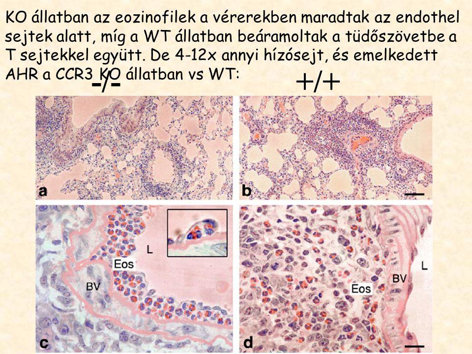 KO állatban az eozinofilek a vérerekben maradtak az endothel sejtek alatt, míg a WT állatban beáramoltak a tüdőszövetbe a T sejtekkel együtt. De 4-12x annyi hízósejt, és emelkedett AHR a CCR3 KO állatban vs WT: