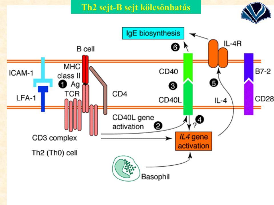 Th2 sejt-B sejt kölcsönhatás