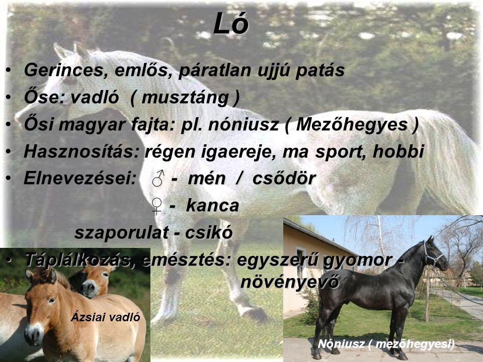 Ló Gerinces, emlős, páratlan ujjú patás Őse: vadló ( musztáng )