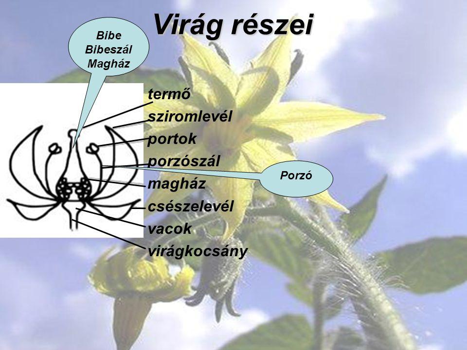 Virág részei termő sziromlevél portok porzószál magház csészelevél