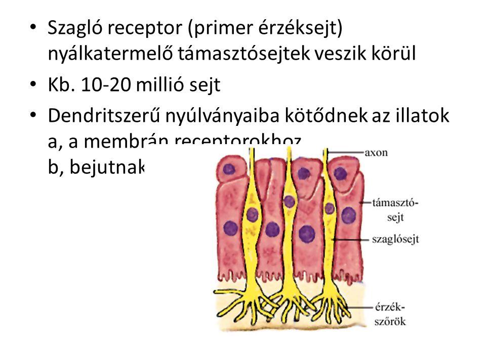 Szagló receptor (primer érzéksejt) nyálkatermelő támasztósejtek veszik körül
