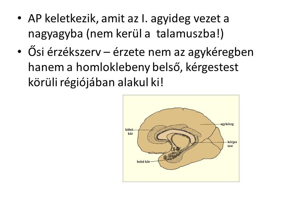 AP keletkezik, amit az I. agyideg vezet a nagyagyba (nem kerül a talamuszba!)