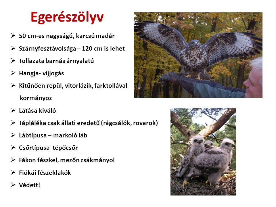 Egerészölyv 50 cm-es nagyságú, karcsú madár