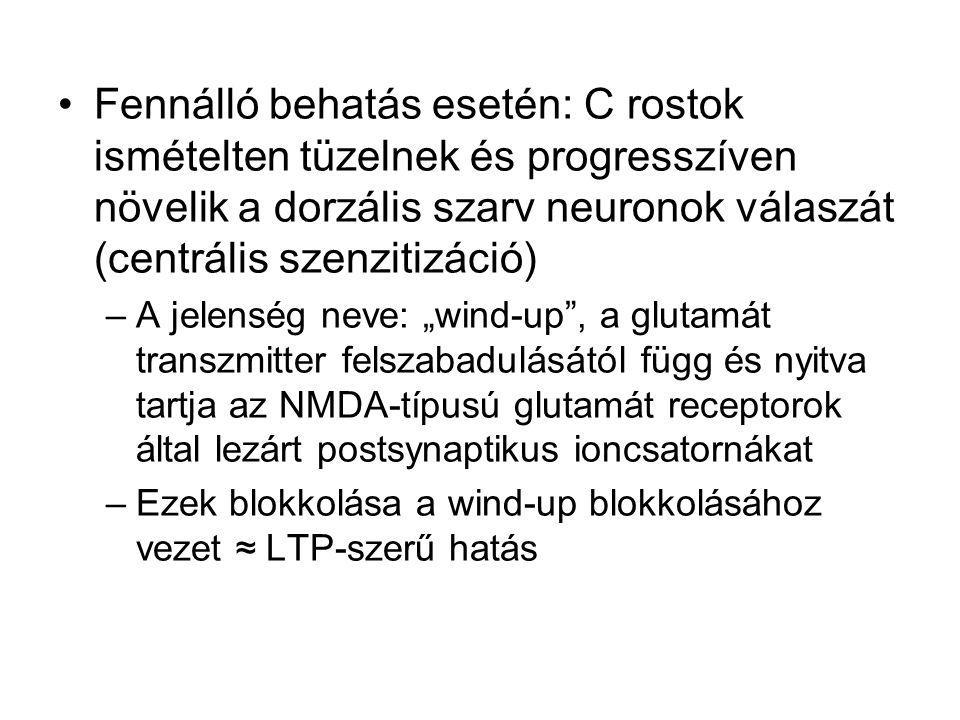 Fennálló behatás esetén: C rostok ismételten tüzelnek és progresszíven növelik a dorzális szarv neuronok válaszát (centrális szenzitizáció)