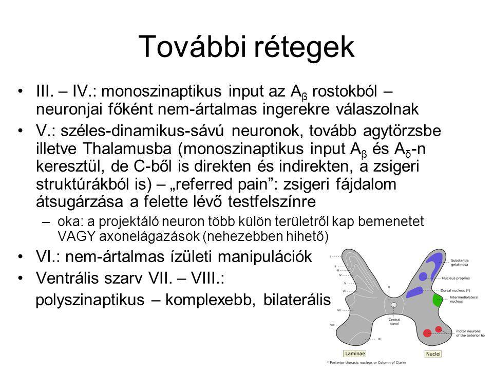 További rétegek III. – IV.: monoszinaptikus input az Aβ rostokból – neuronjai főként nem-ártalmas ingerekre válaszolnak.