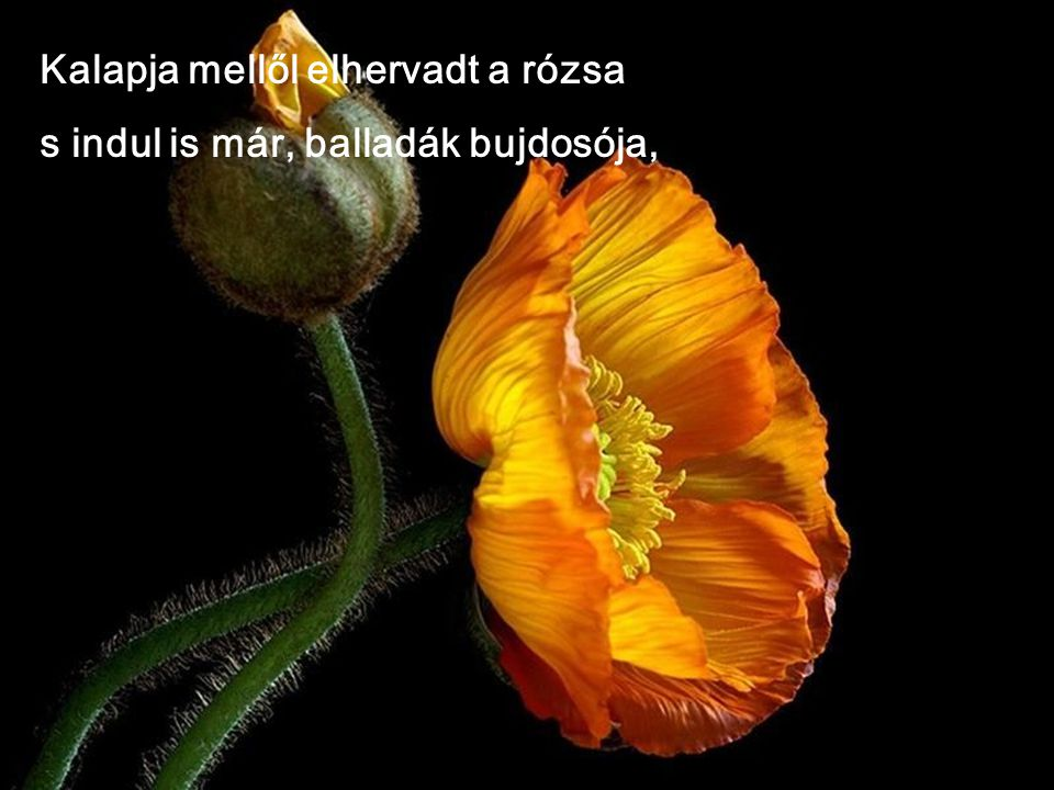 Kalapja mellől elhervadt a rózsa