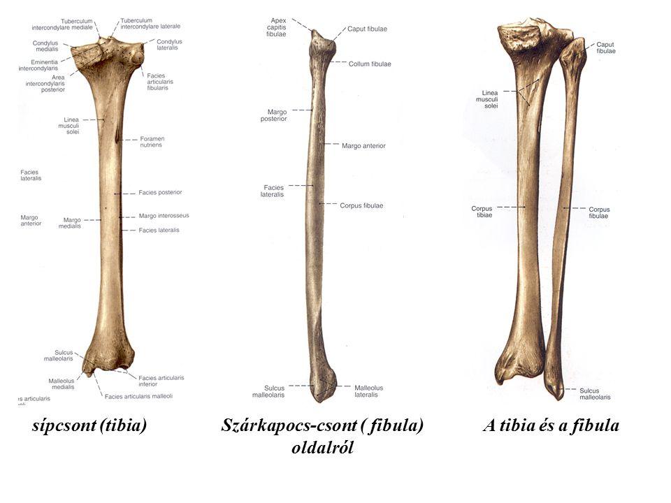 Szárkapocs-csont ( fibula)