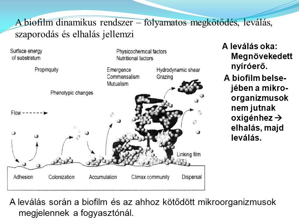 A biofilm dinamikus rendszer – folyamatos megkötődés, leválás, szaporodás és elhalás jellemzi
