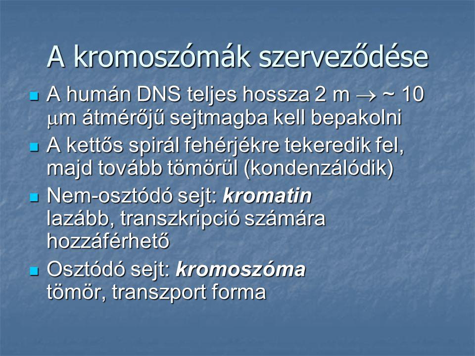 A kromoszómák szerveződése