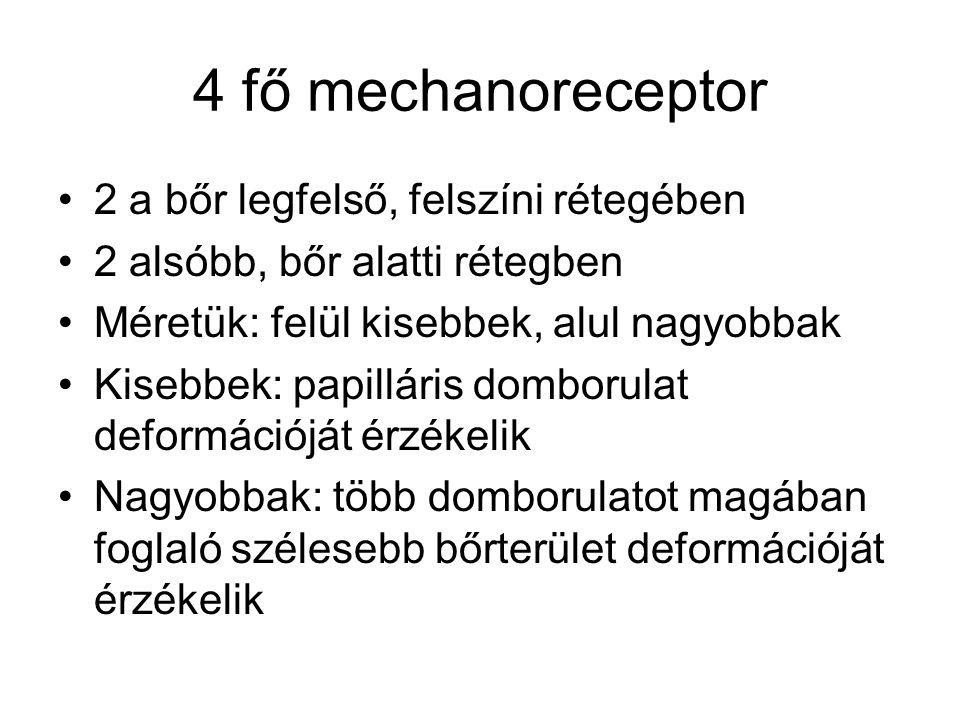 4 fő mechanoreceptor 2 a bőr legfelső, felszíni rétegében