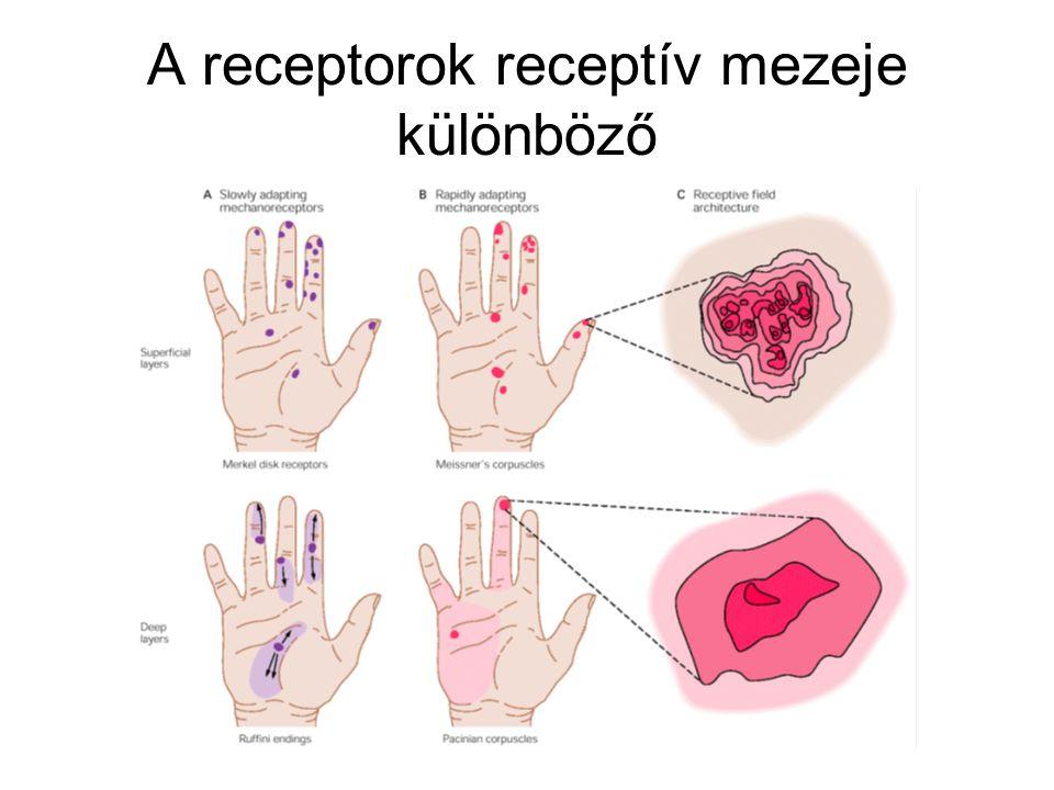 A receptorok receptív mezeje különböző