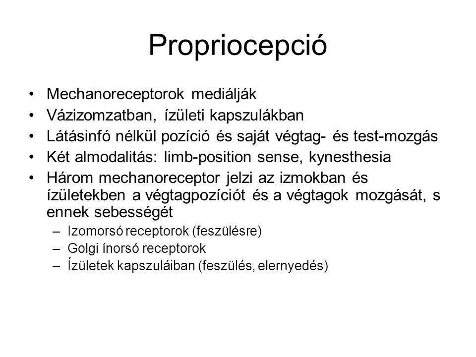 Propriocepció Mechanoreceptorok mediálják