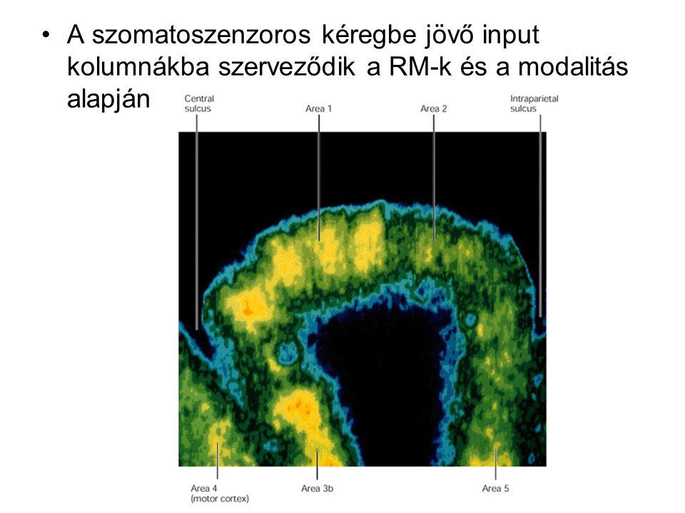 A szomatoszenzoros kéregbe jövő input kolumnákba szerveződik a RM-k és a modalitás alapján